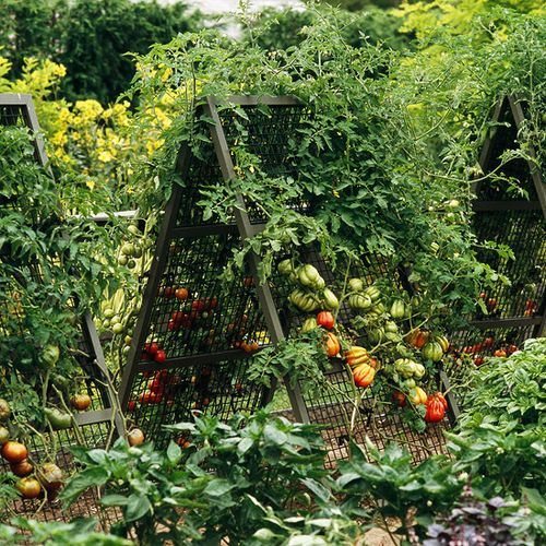 Tomato trellis